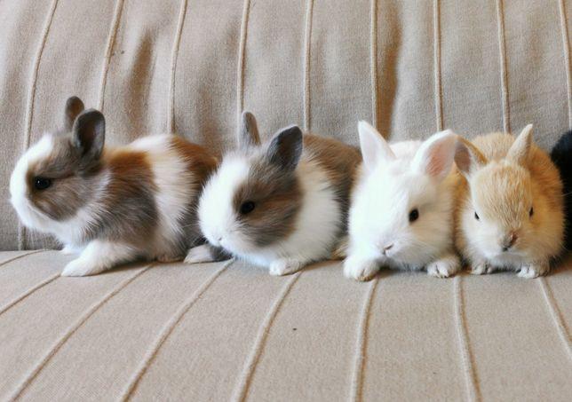 KIT Coelhos anões angorá, holandês mini e teddy lindíssimos