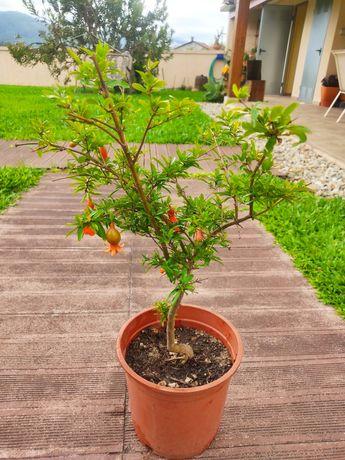 Mini Romanzeira de jardim tipo bonsai