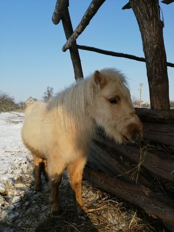 пони Сакура конь соловая кобыла лошадь
