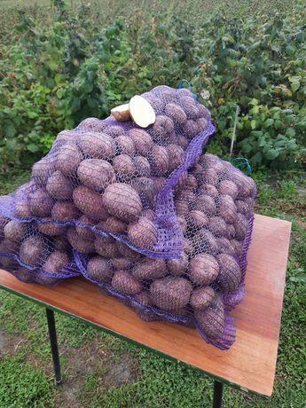 Картофель урожай 2021
