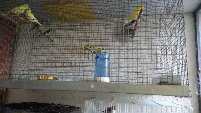 viveiro mais canarios