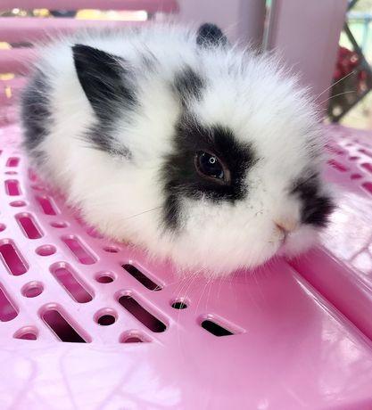 АКЦИЯ!!! Кролики карликовые