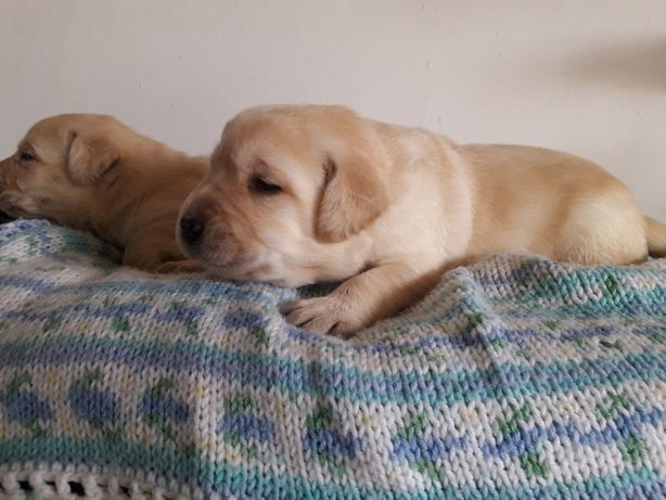 Labrador Retriever Amarelo Lop e Afixo
