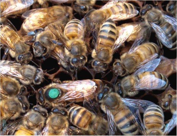 Пчелиные матки (Плодная матка) Скленар-Пешец (Карника) Плодные