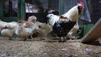 Ovos de galinhas da raça Faverolles para incubação.