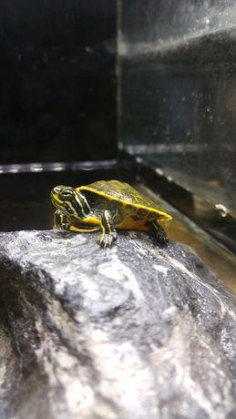 Żółw wodno-lądowy - Tinazoo Gliwice