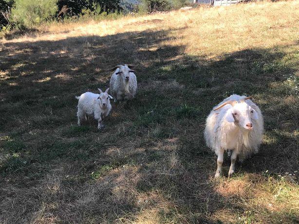 Venda de três cabras angorás, 2 machos e uma fêmea