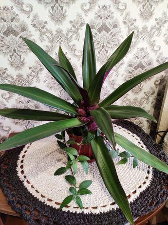 Подарок,Традесканция-рео, комнатные цветы,сансевиерия,хлорофит,кактусы