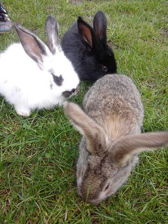 Króliki, młode króliczki