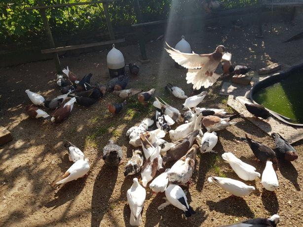 Gołębie - sprzedam