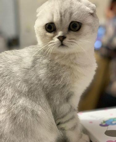 Вязка шотландский котик окраса шиншила