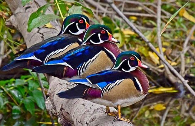 Kaczki  ozdobne KAROLINKI- wszystkie  kolory