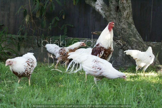 Jaja lęgowe jokohama czerwonosiodłata jokohamy