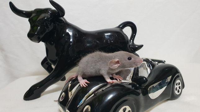Szczury Szczurki duży wybór kolorów sierść standard rex fuzz