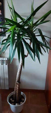 Planta Yucca interior