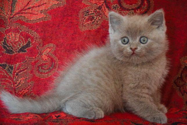 Шотландский кот лиловый