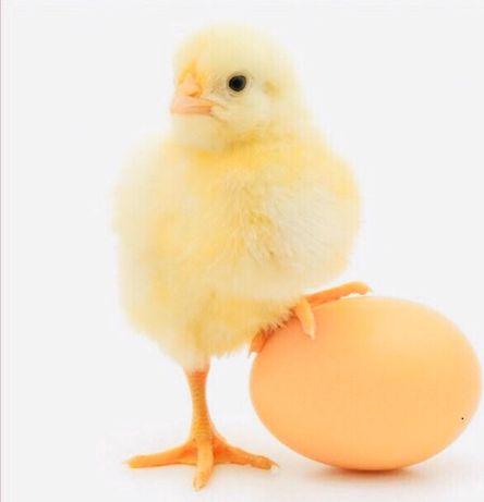 Суточные цыплята бройлера, индюшата, утята, гусята, бройлер