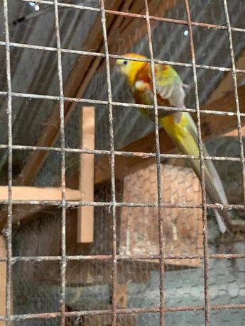 Lote de pássaros ( red rumped, caturras, roseicollis)