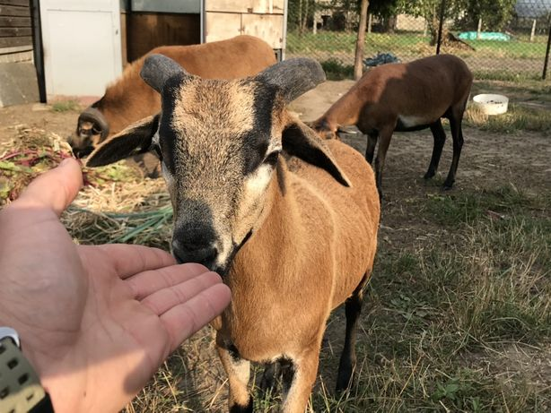 Owce kameruńskie, owca, baranek ! Tryk