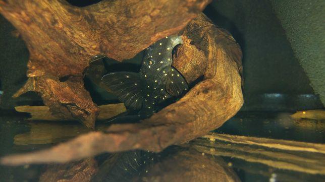 Zbrojnik glonojad panaqolus albomaculatus lda 031