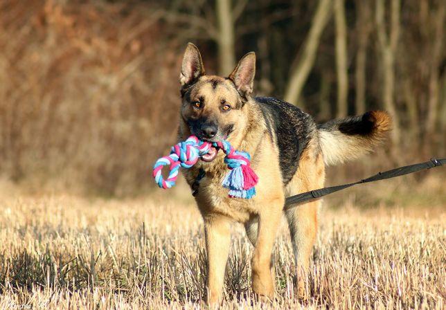 Alex - 2-letni owczarek szuka domu