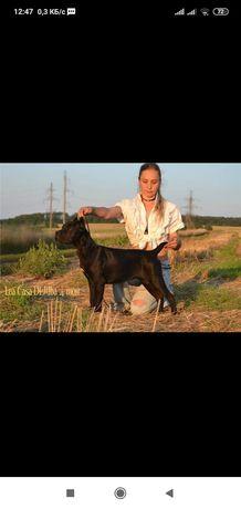 Кане Корсо, cane corso puppy