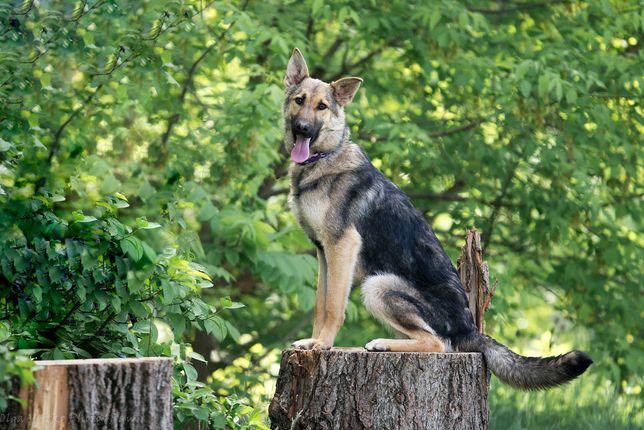 Отдам в хорошие руки молодую собаку Кипши, метис овчарки.