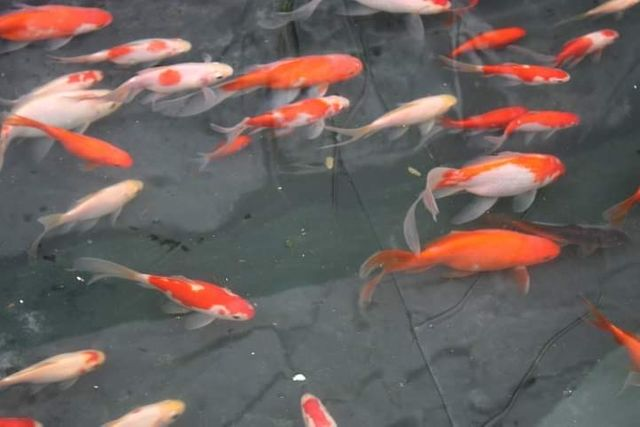 цветная рыба (комета, цветной карась)