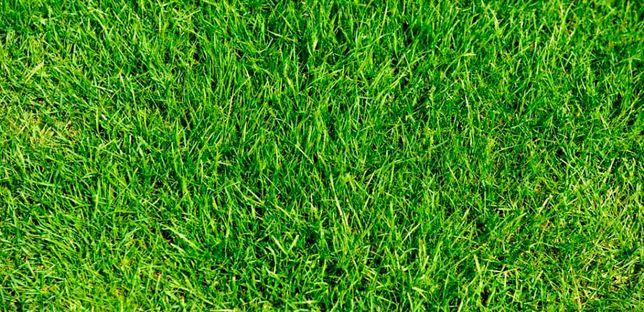 Семена газонных трав Лилипут (Насіння газонне Ліліпут), трава газонная
