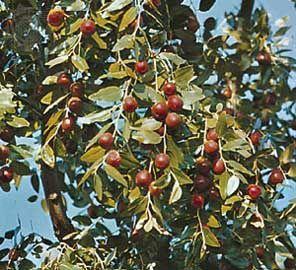 Azufaifos com fruta madura