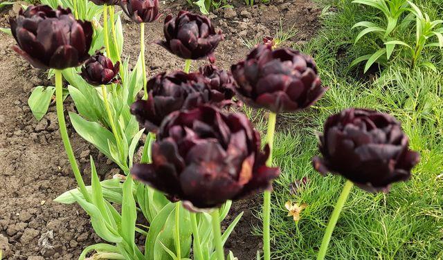 Набор из луковиц тюльпанов и крокусов