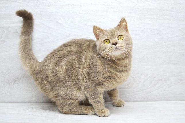 Нежная и ласковая шотландская кошечка. Котята шотландские