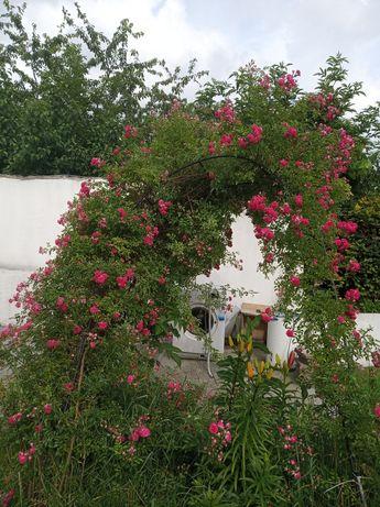 Róża wielokwiatowa różowa