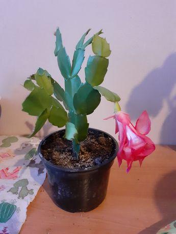 Grudnik Kaktus bożonarodzeniowy różowy