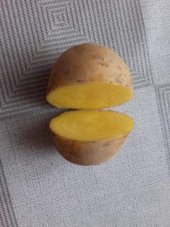 Ziemniak kaliber 35-50 Soraya Madeira Satina Riviera Melody, Denar,Lor