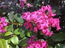 Árvore Lagerstroemia flor roxa