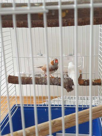 Ptaszki ZEBERKI wraz z klatką