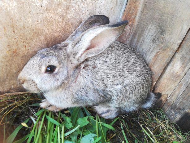 Кролики Серый великан 6 месяцев