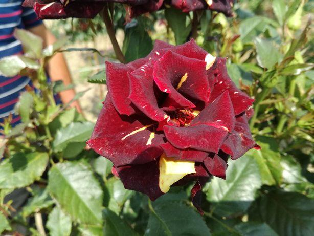 Róża, Róże na pniu, różne kolory- Róża na pniu Biało-czerwona