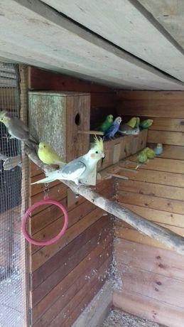 Papugi nimfy 2021 r.