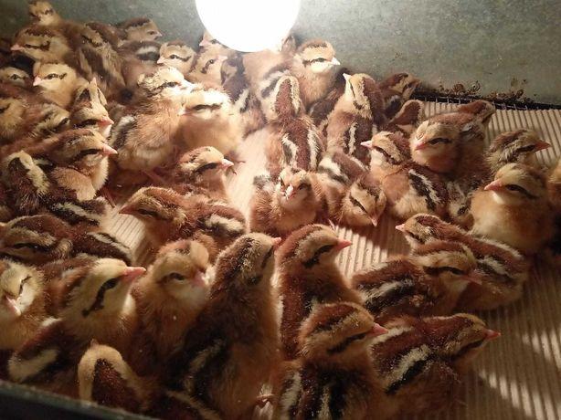 Zielononóżki Zielononóżka pisklęta kurczęta kurczaki kury Nioski