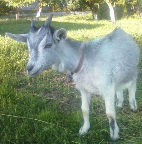 Козочка 4мес от Заненской козы и Альпийского козла