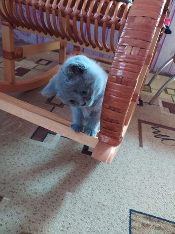 Котенок британец с прямыми ушками