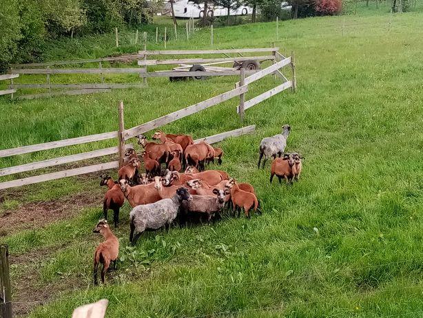 Baranki Tryczki owieczki matki   kamerunskie