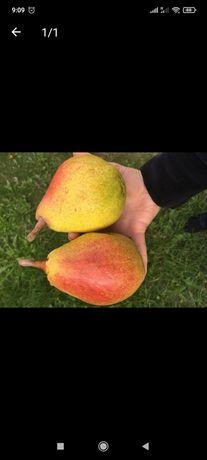 Саджанці плодової груші