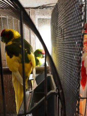 Попугаи какарики разноцветные