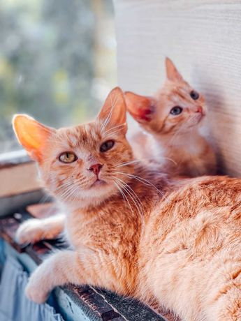 Котята_кошки_отдам_спокойную_красивую_кошку