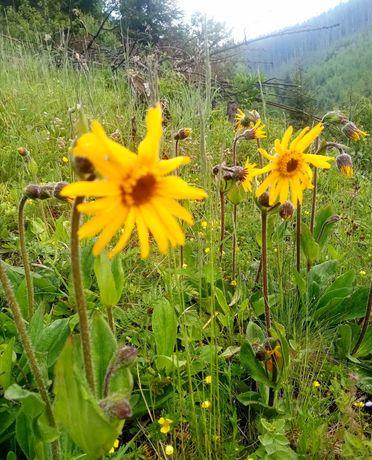 Арника горная, сухие цветки