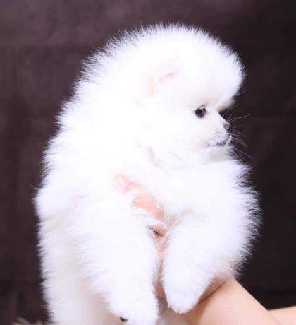 Szpic Pomeranian miniaturowy bialy