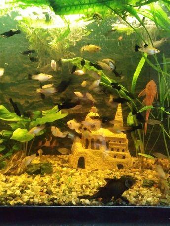 Rybki akwariowe molinezje